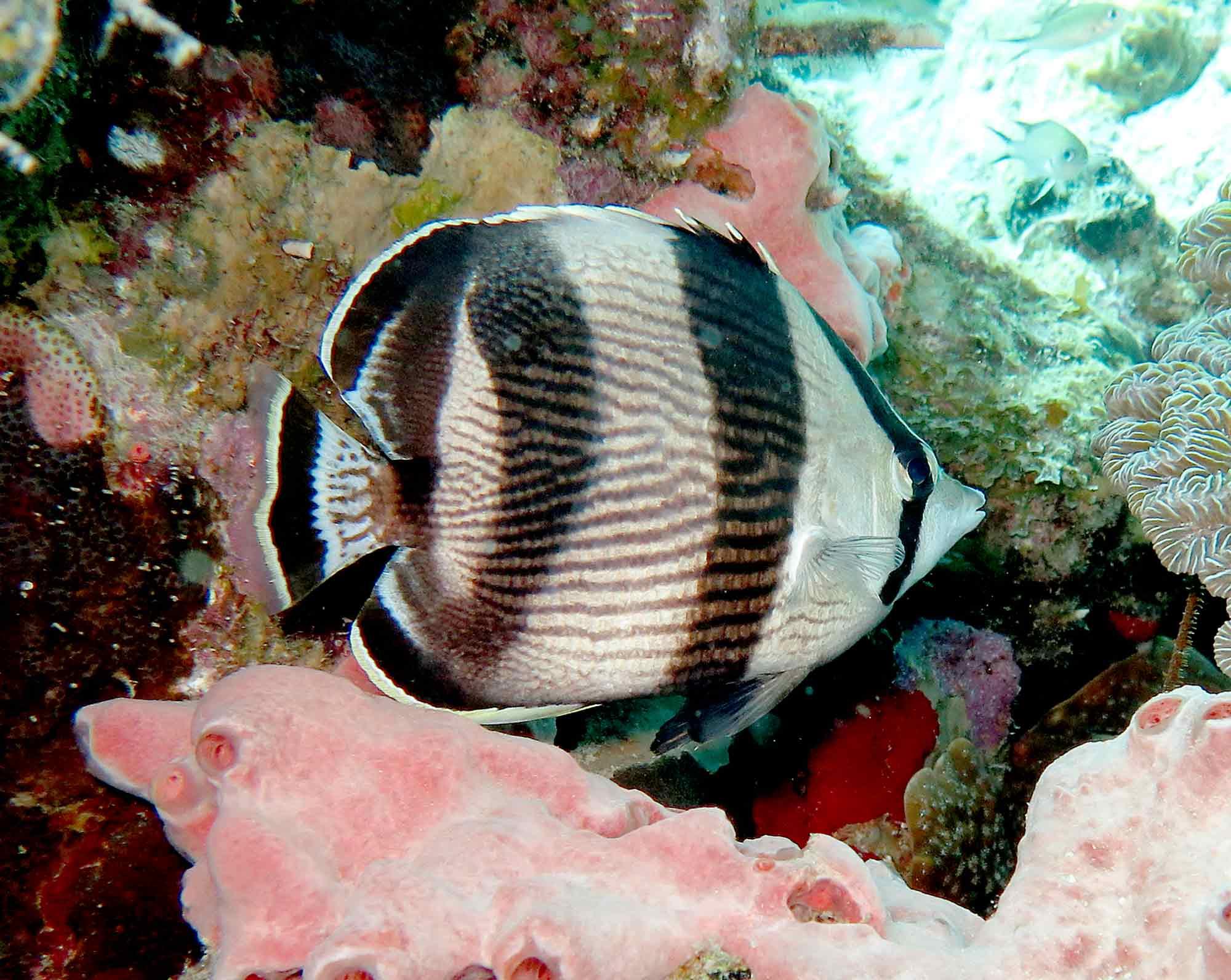 14052009BandedButterflyfish