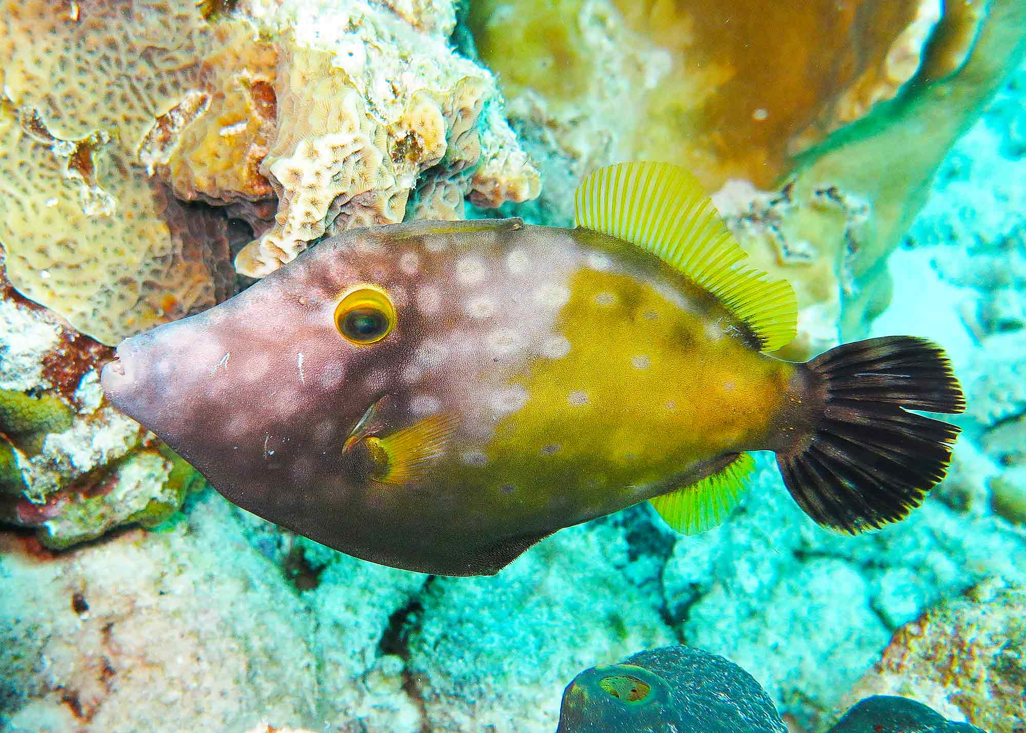 14060501JuvenileFilefish