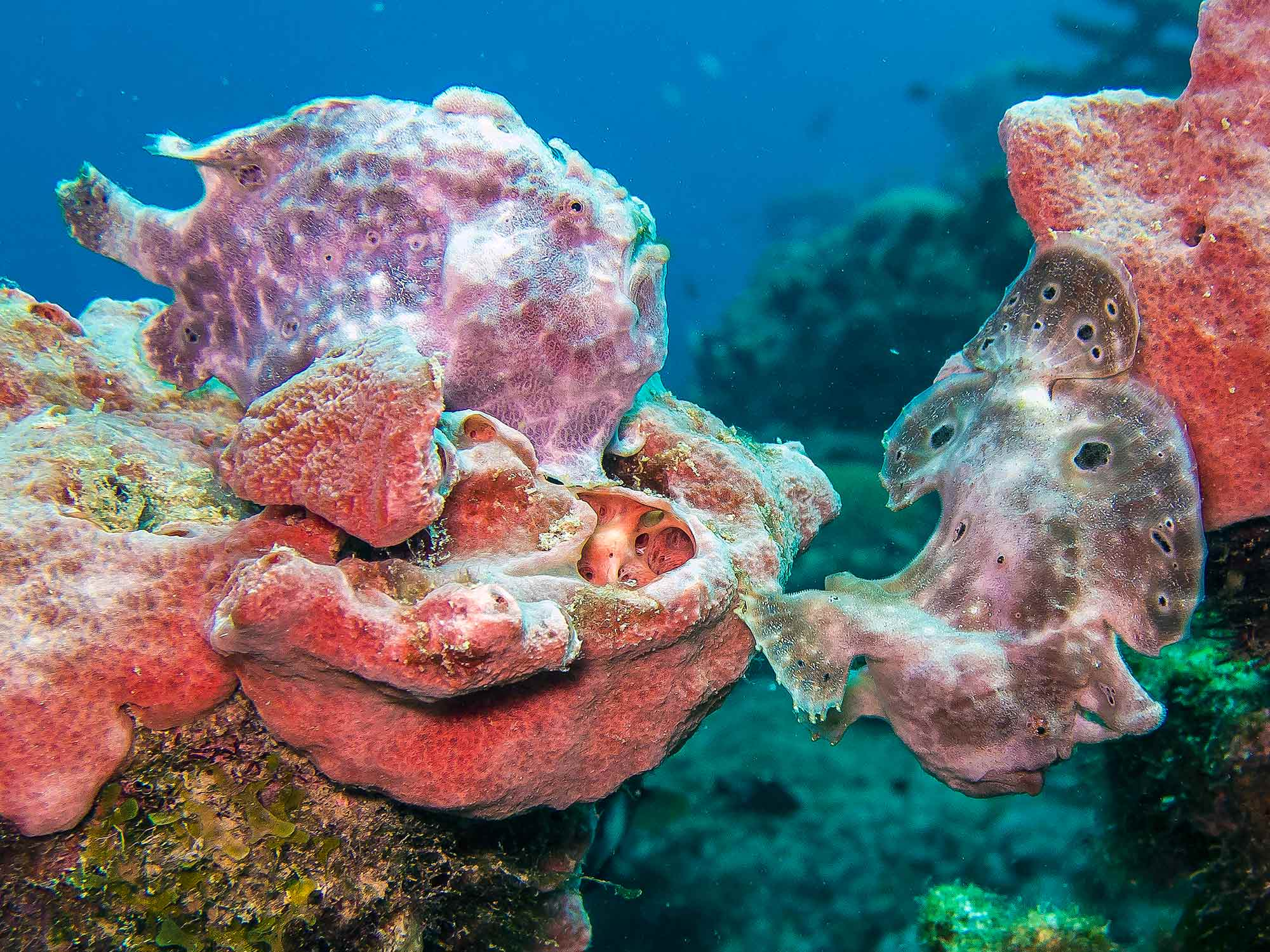 14060902TwoFrogfishes